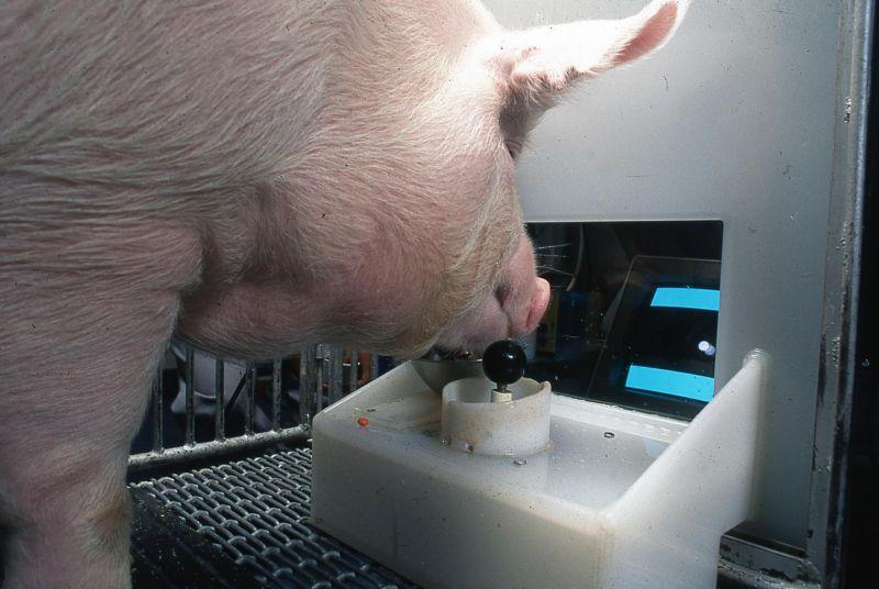 Naukowcy nauczyli świnie grać za pomocą dżojstika